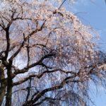 今年も咲いた、町田のサクラ